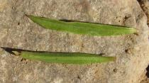 Satureja montana - Upper and lower surface of leaf - Click to enlarge!