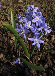 Scilla luciliae - Habit - Click to enlarge!