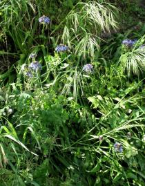 Scilla peruviana - Habit - Click to enlarge!