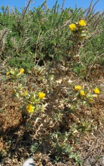Scolymus hispanicus - Habit - Click to enlarge!