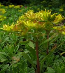 Sedum spurium - Inflorescence, side view - Click to enlarge!