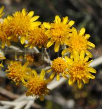 Senecio bicolor - Flower heads - Click to enlarge!