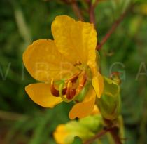 Senna occidentalis - Flower - Click to enlarge!