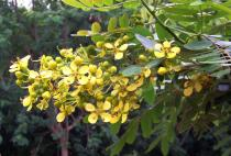 Senna siamea - Inflorescence - Click to enlarge!