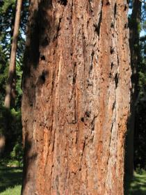 Sequoiadendron giganteum - Bark - Click to enlarge!