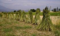 Sesamum orientale - Sesame plants left to dry in the field - Click to enlarge!