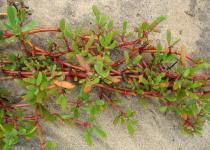 Sesuvium portulacastrum - Habit - Click to enlarge!