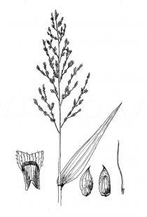 Setaria palmifolia - Click to enlarge!