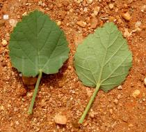 Sida cordifolia - Top and lower side of leaf - Click to enlarge!