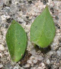 Silene acutifolia - Upper and lower surface of leaf - Click to enlarge!