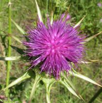 Silybum marianum - Flower head, side view - Click to enlarge!