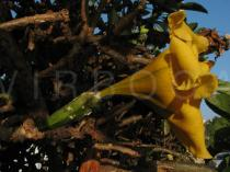 Solandra maxima - Flower, side view - Click to enlarge!