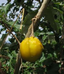 Solanum aculeastrum - Fruit - Click to enlarge!
