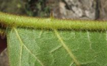 Solanum chrysotrichum - Spine on the middle rib of the lower leaf surface - Click to enlarge!