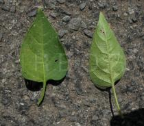 Solanum dulcamara - Upper and lower surface of leaf - Click to enlarge!