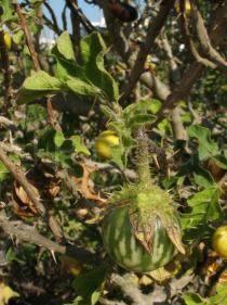 Solanum linnaeanum - Ripening fruit - Click to enlarge!