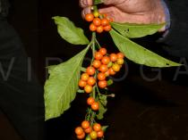 Solanum spirale - Fruits and lower side of leaves - Click to enlarge!