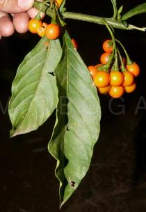 Solanum spirale - Fruits and upper side of leaves - Click to enlarge!
