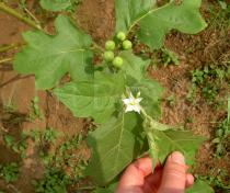 Solanum torvum - Flower and unripe fruits - Click to enlarge!