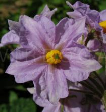 Solanum tuberosum - Flower - Click to enlarge!