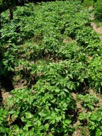 Solanum tuberosum - Cultivation in home garden - Click to enlarge!