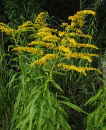 Solidago gigantea - Inflorescence - Click to enlarge!