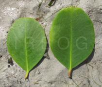 Sonneratia alba - Upper and lower surface of leaf - Click to enlarge!