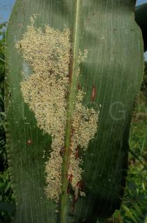 Sorghum bicolor - Aphid colony on lower leaf surface - Click to enlarge!