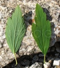 Spiraea x vanhouttei - Upper and lower side of leaf - Click to enlarge!