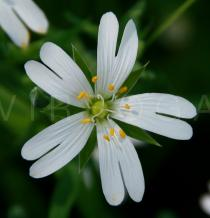 Stellaria holostea - Flower - Click to enlarge!