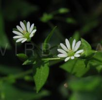 Stellaria neglecta - Flower - Click to enlarge!