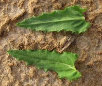 Stemodia durantifolia - Upper and lower surface of leaf - Click to enlarge!