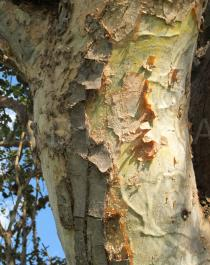 Sterculia africana - Bark - Click to enlarge!