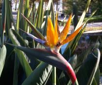 Strelitzia reginae - Flower - Click to enlarge!
