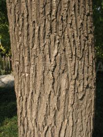Styphnolobium japonicum - Bark - Click to enlarge!