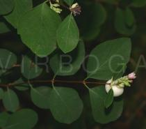 Symphoricarpos albus - Twig with fruit - Click to enlarge!
