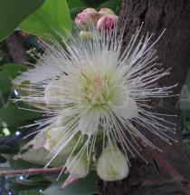 Syzygium aqueum - Flower - Click to enlarge!
