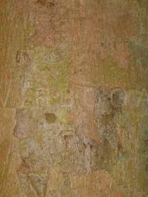 Syzygium malaccense - Bark - Click to enlarge!