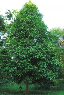 Syzygium malaccense - Habit - Click to enlarge!
