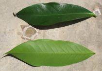Syzygium malaccense - Upper and lower side of leaf - Click to enlarge!