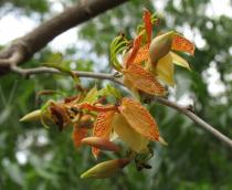 Tamarindus indica - Flowers - Click to enlarge!