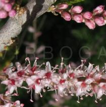 Tamarix parviflora - Close-up of flowers and flower buds - Click to enlarge!