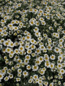 Tanacetum balsamita - Flowers - Click to enlarge!