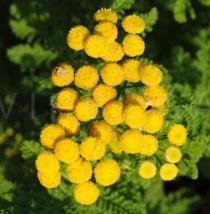 Tanacetum crispum - Inflorescence - Click to enlarge!