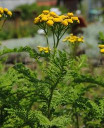 Tanacetum crispum - Inflorescence, side view - Click to enlarge!