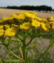 Tanacetum vulgare - Flower heads, close-up - Click to enlarge!