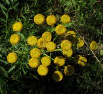 Tanacetum vulgare - Inflorescence, close-up - Click to enlarge!