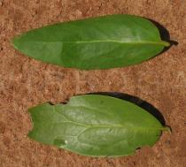 Tapinanthus bangwensis - Top and lower side of leaf - Click to enlarge!