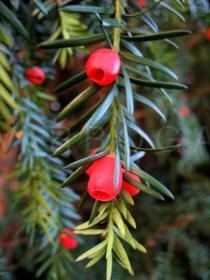 Taxus baccata - Fruits - Click to enlarge!
