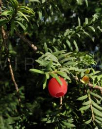 Taxus baccata - Fruit - Click to enlarge!